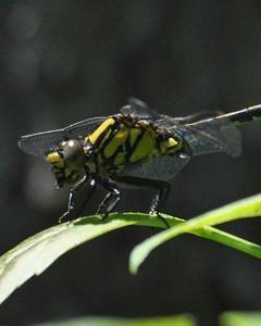 Extra-striped Snaketail