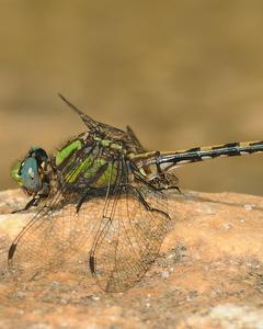Edmund's Snaketail