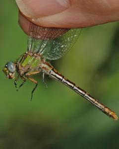 Appalachian Snaketail