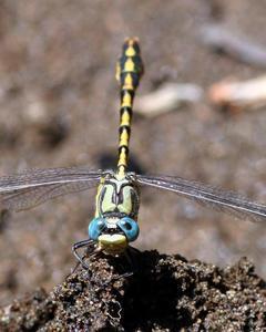 Great Basin Snaketail