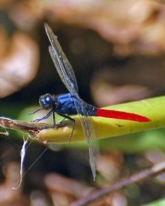 Flame-tailed Pondhawk