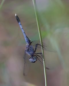 Little Blue Dragonlet