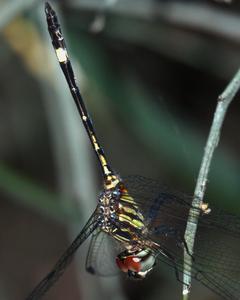 Three-striped Dasher