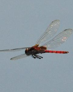 Arch-tipped Glider