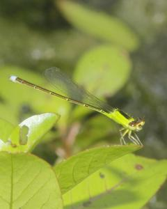 Tropical Forktail