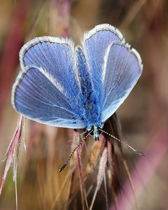 European Common Blue