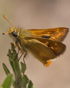 Rural Skipper