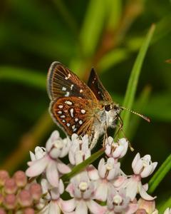 Many-spotted Skipperling