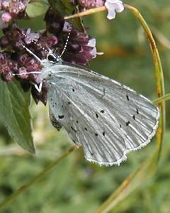Celastrina argiolus-ladon complex