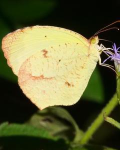 Boisduval's Yellow
