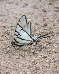 Neographium epidaus: Mexican Kite-Swallowtail