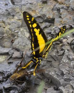 Neographium thyastes: Orange Kite-Swallowtail