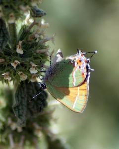 Callophrys gryneus: 'Sweadner's' Juniper Hairstreak