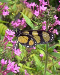 Methona confusa: Confusa Tigerwing