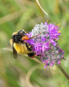 Northern amber bumble bee