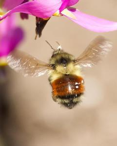 Black-tailed bumble bee