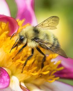 Western bumble bee