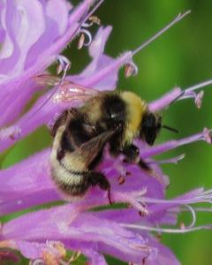 Western bumble bee