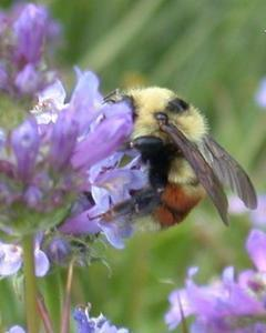 Red-belted bumble bee
