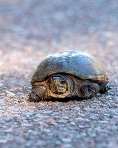 Common Mud Turtle